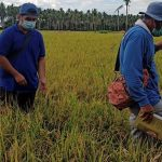 Macalelon, San Narciso, San Francisco rice farmers satisfied with RRP 2 seeds